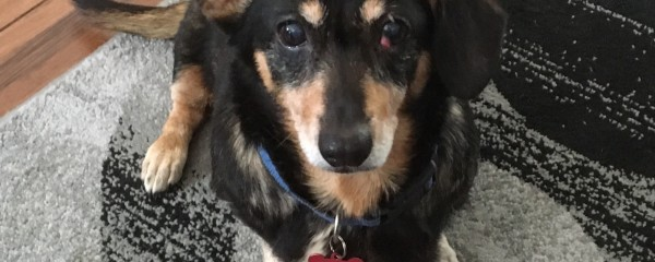 Nikki, the adorable rescue dachshund, Part One
